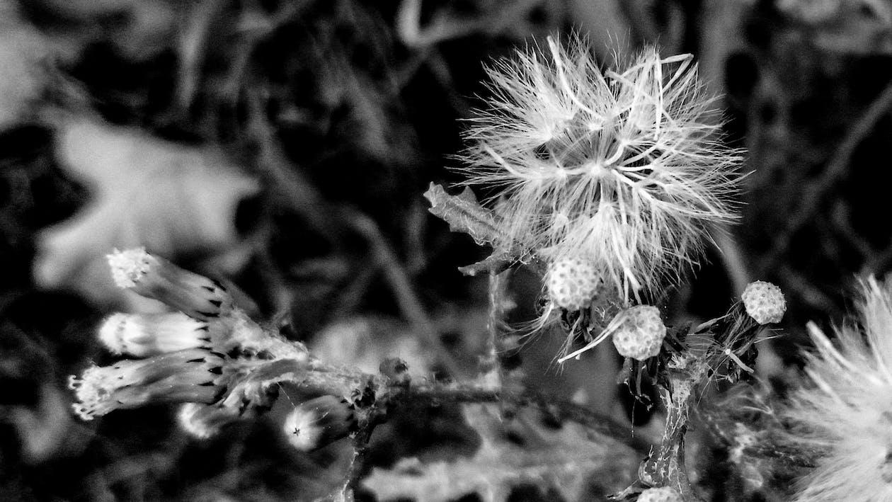 blomst, bnw, natur