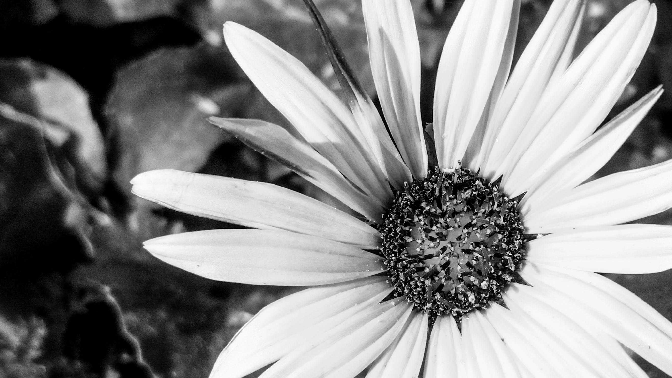 Fotos de stock gratuitas de blanco y negro, bnw, flor, flor silvestre