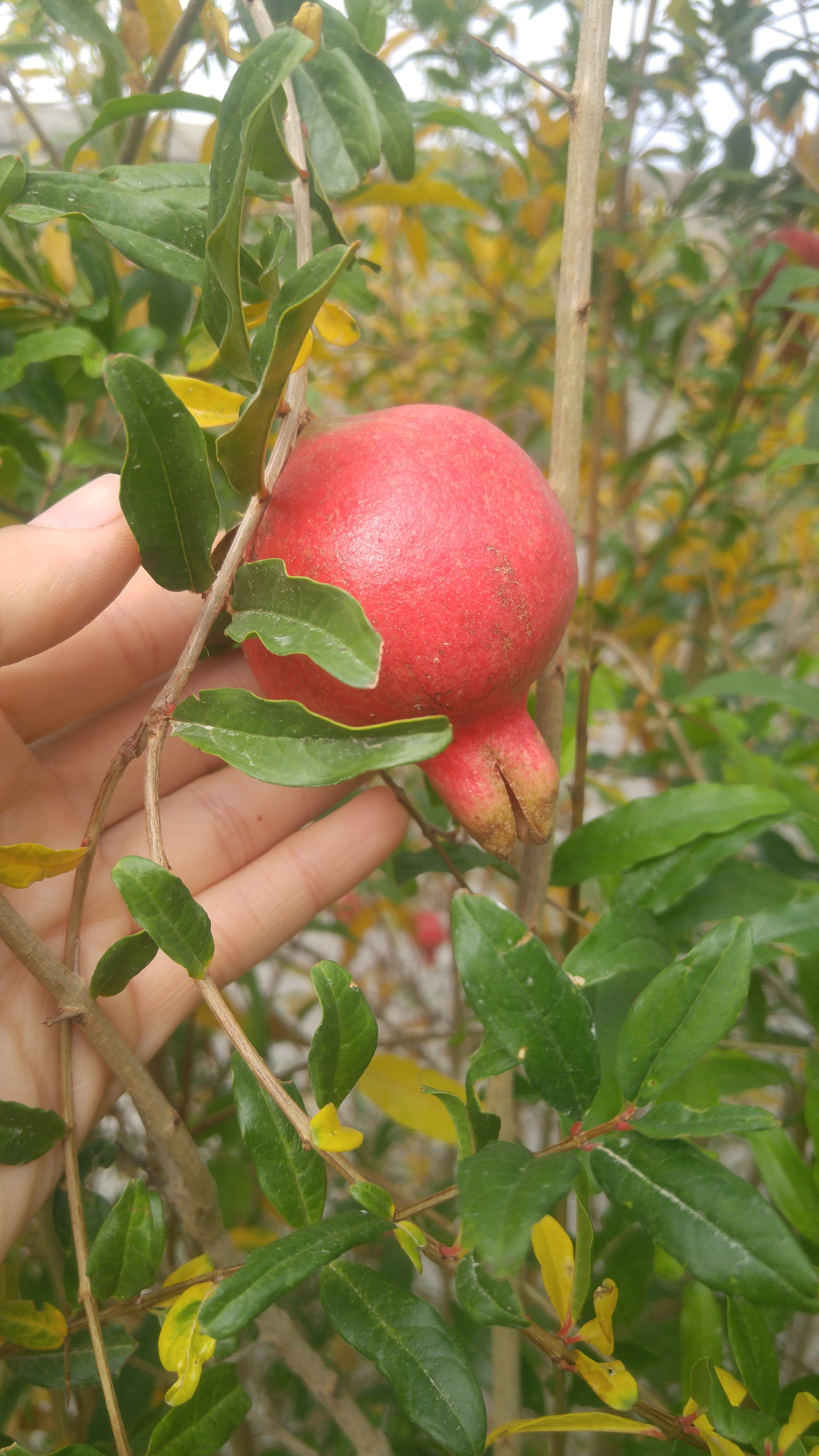 Foto d'estoc gratuïta de arbre, fruita, Magrana