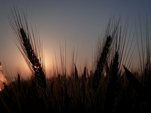 傍晚的天空, 傍晚的太陽, 太陽, 小麥 的 免费素材照片