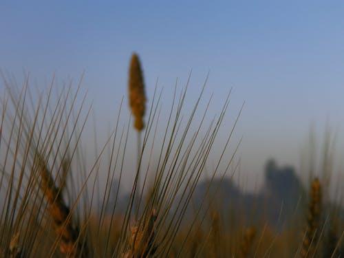 印度, 小麥, 白米, 草葉 的 免费素材照片