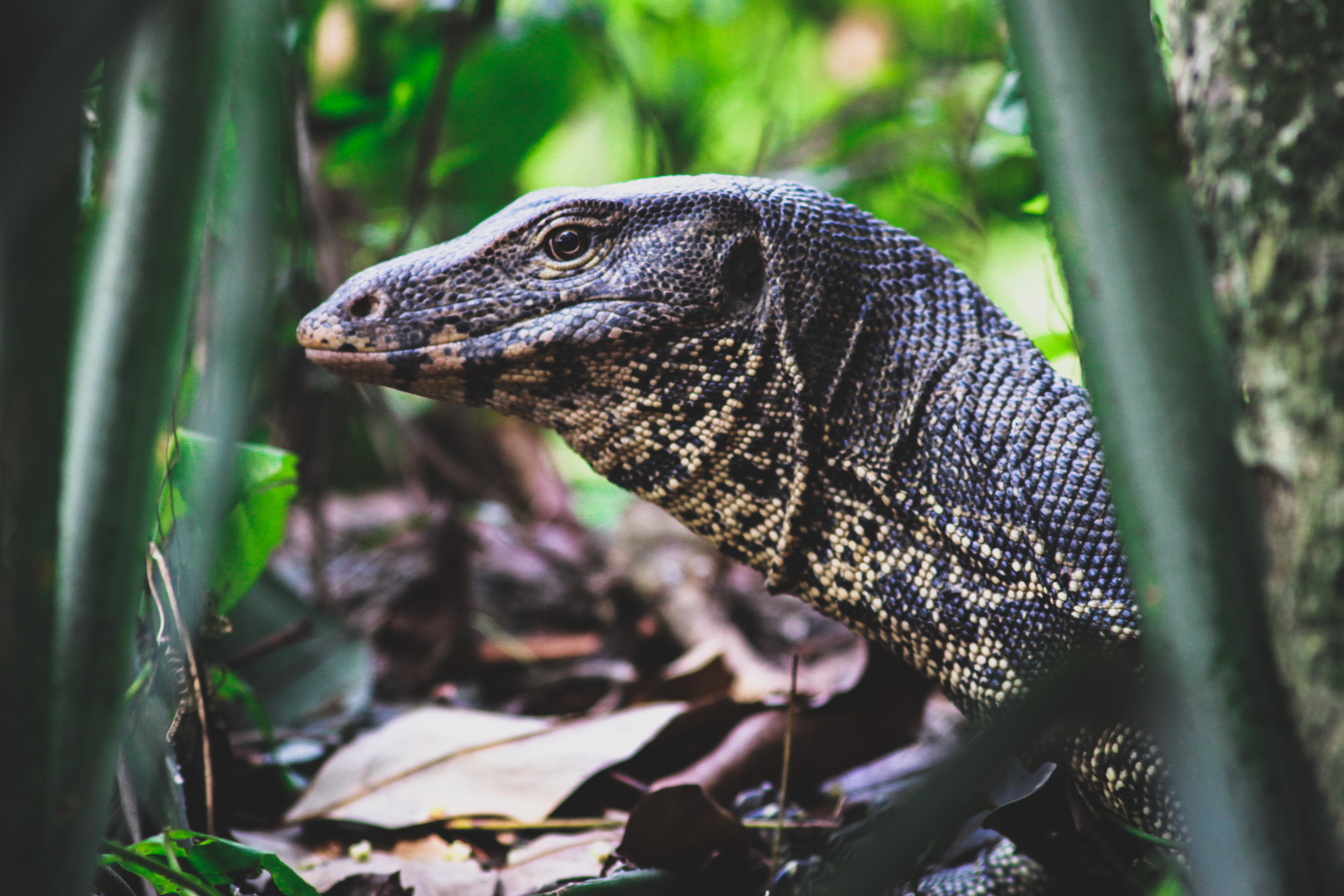 Black and Beige Monitor Lizard on Woods