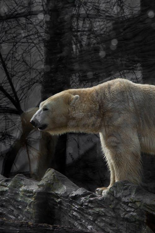 Fotobanka sbezplatnými fotkami na tému ľadový medveď, život vo voľnej prírode, ZOO