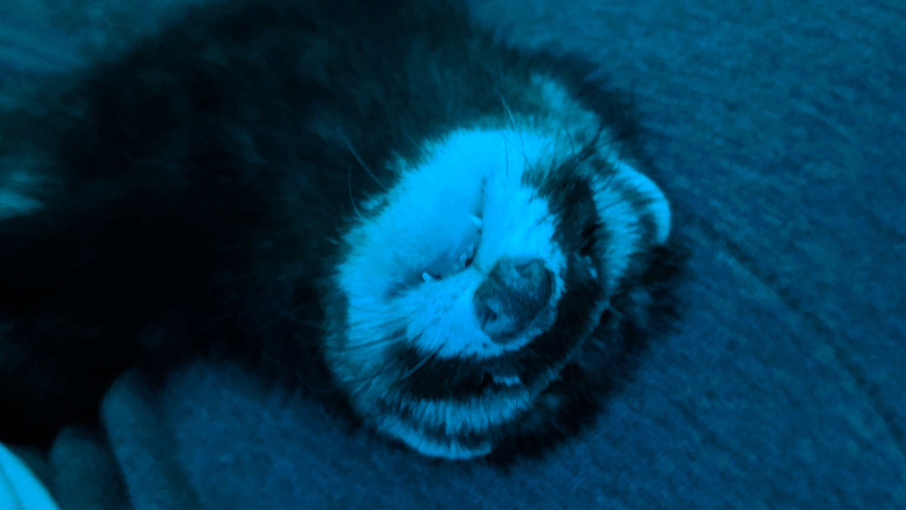 Free stock photo of animal, awesome, cute, ferret