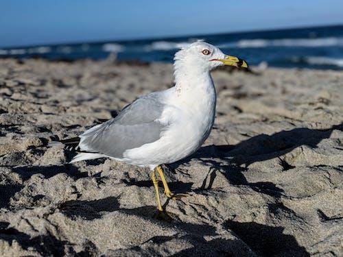 Δωρεάν στοκ φωτογραφιών με άγρια φύση, άμμος, γκρο πλαν, γλάρος