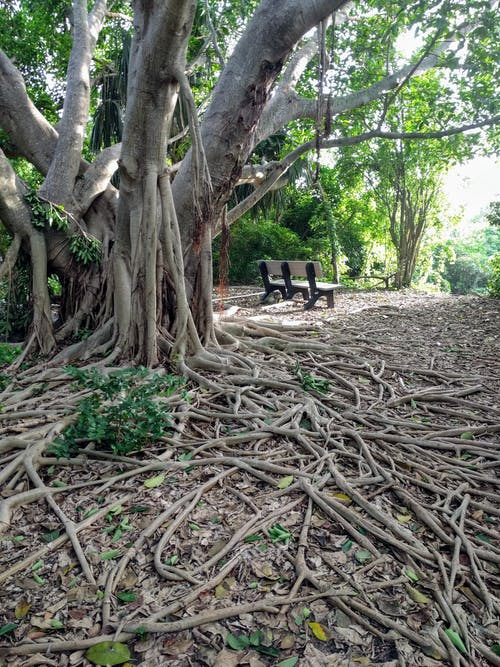 Gratis lagerfoto af banyan træ, bænk, fredelig, natur