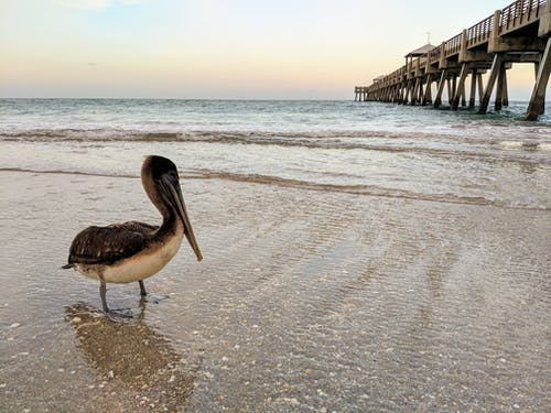 Darmowe zdjęcie z galerii z dzika przyroda, floryda, molo, pelikan