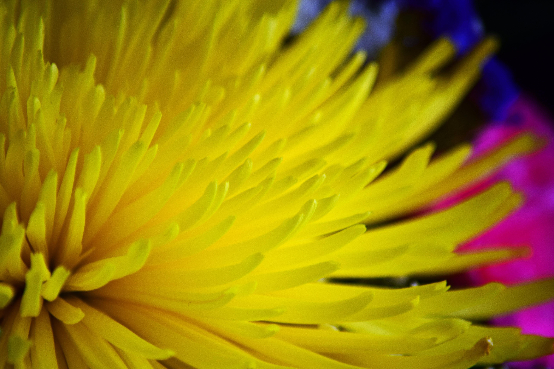 Безкоштовне стокове фото на тему «жовта квітка, жовтий, квітка, прекрасна квітка»