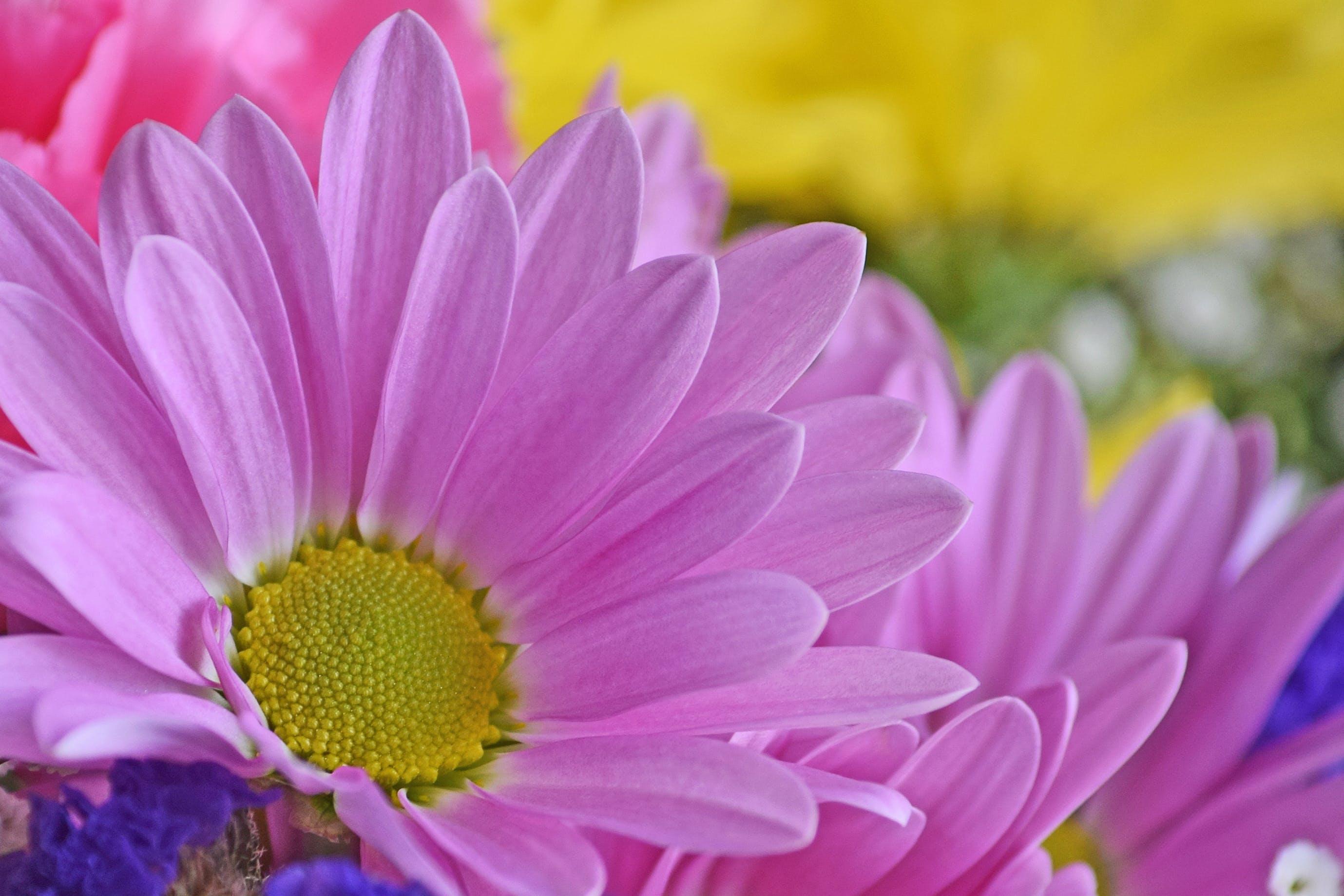 Безкоштовне стокове фото на тему «квітка, маргаритка, прекрасна квітка, фіолетовий»