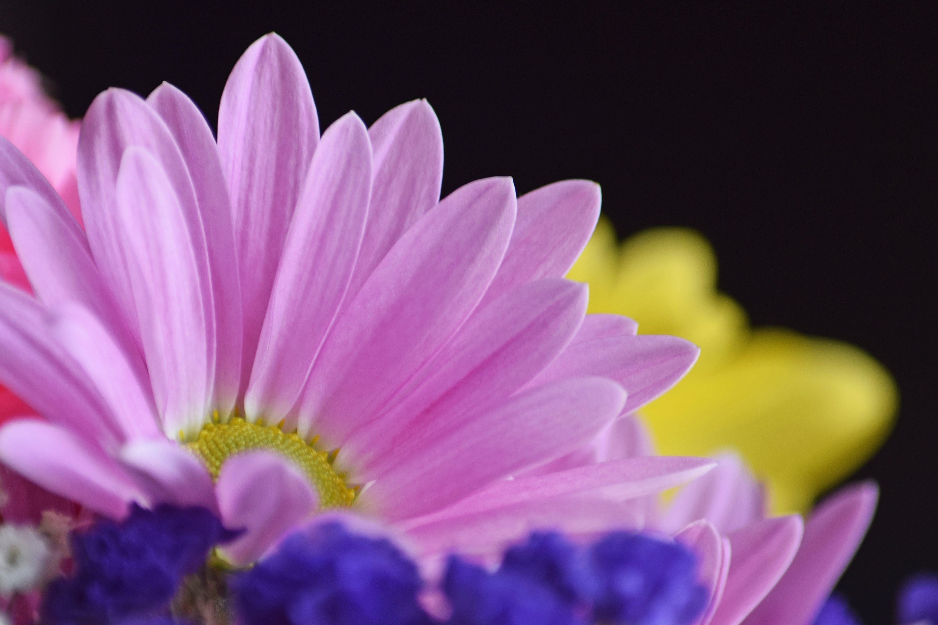 Foto profissional grátis de flor, flor bonita, lilás, margarida