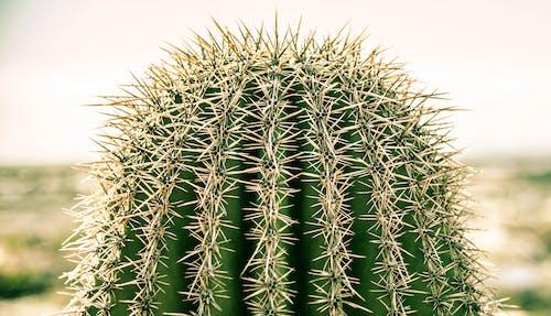 Free stock photo of cactus, desert, mountain