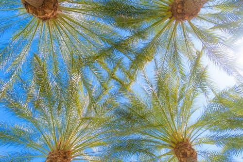 Ilmainen kuvapankkikuva tunnisteilla aavikko, arizona, fronds, palmupuut