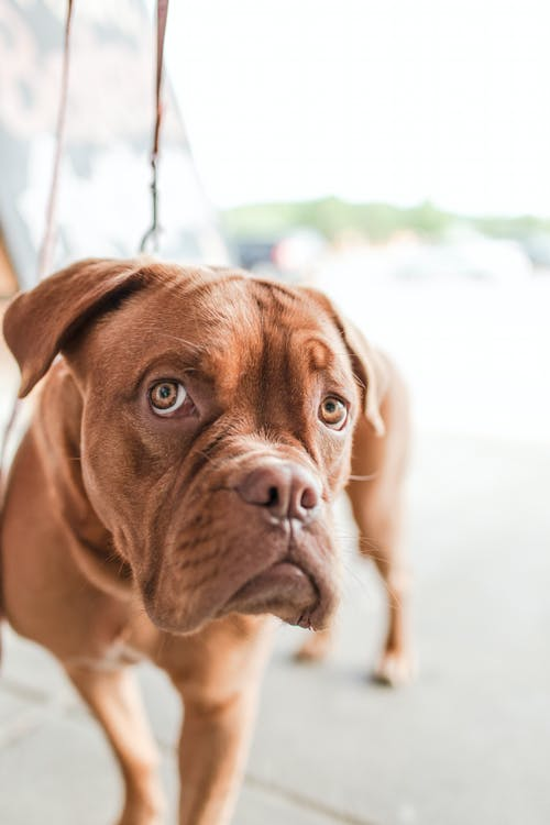 Adult Mahogany French Mastiff
