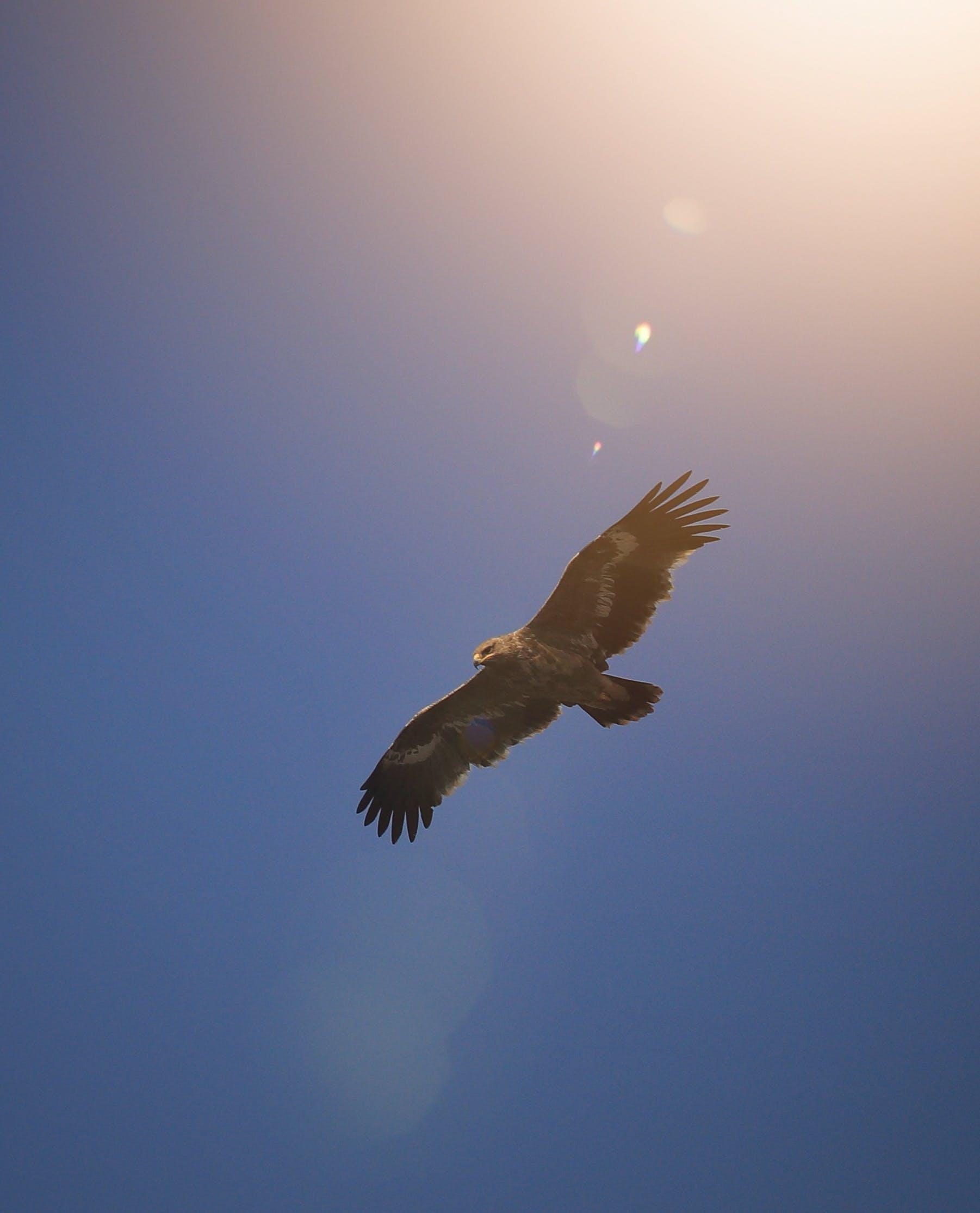 Free stock photo of eagle, nature, sky, wild bird