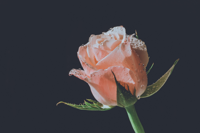 Bunga Mawar Merah Background Hitam Mawar Ku