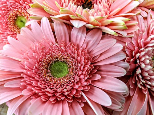 Immagine gratuita di fiori rosa, margherite rosa