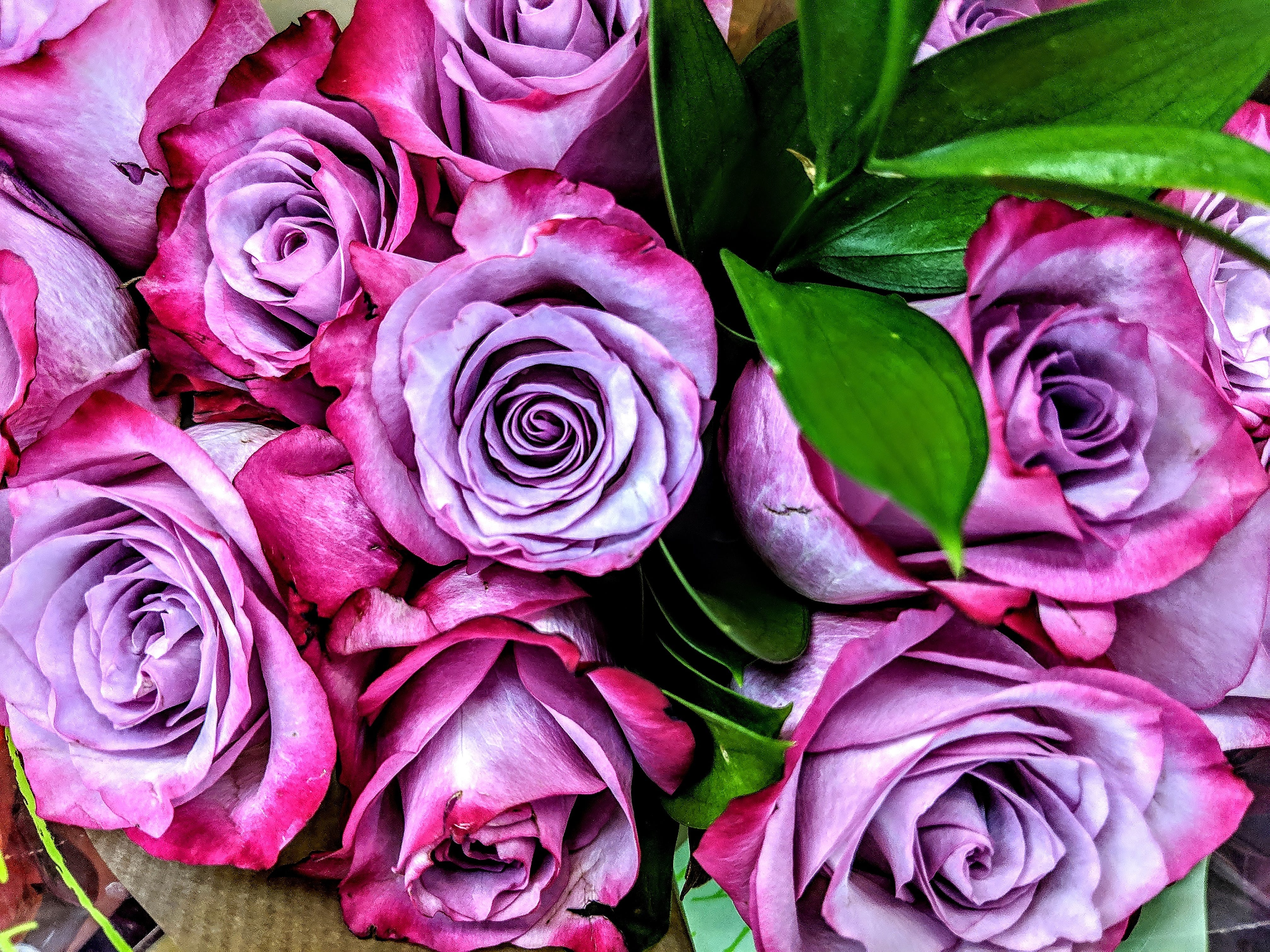 Free stock photo of pink roses, purple flowers, purple pink roses, Purple roses