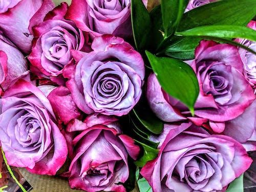 Immagine gratuita di fiori viola, rose rosa, rose viola