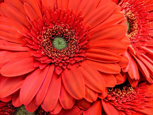 Immagine gratuita di margherite arancioni