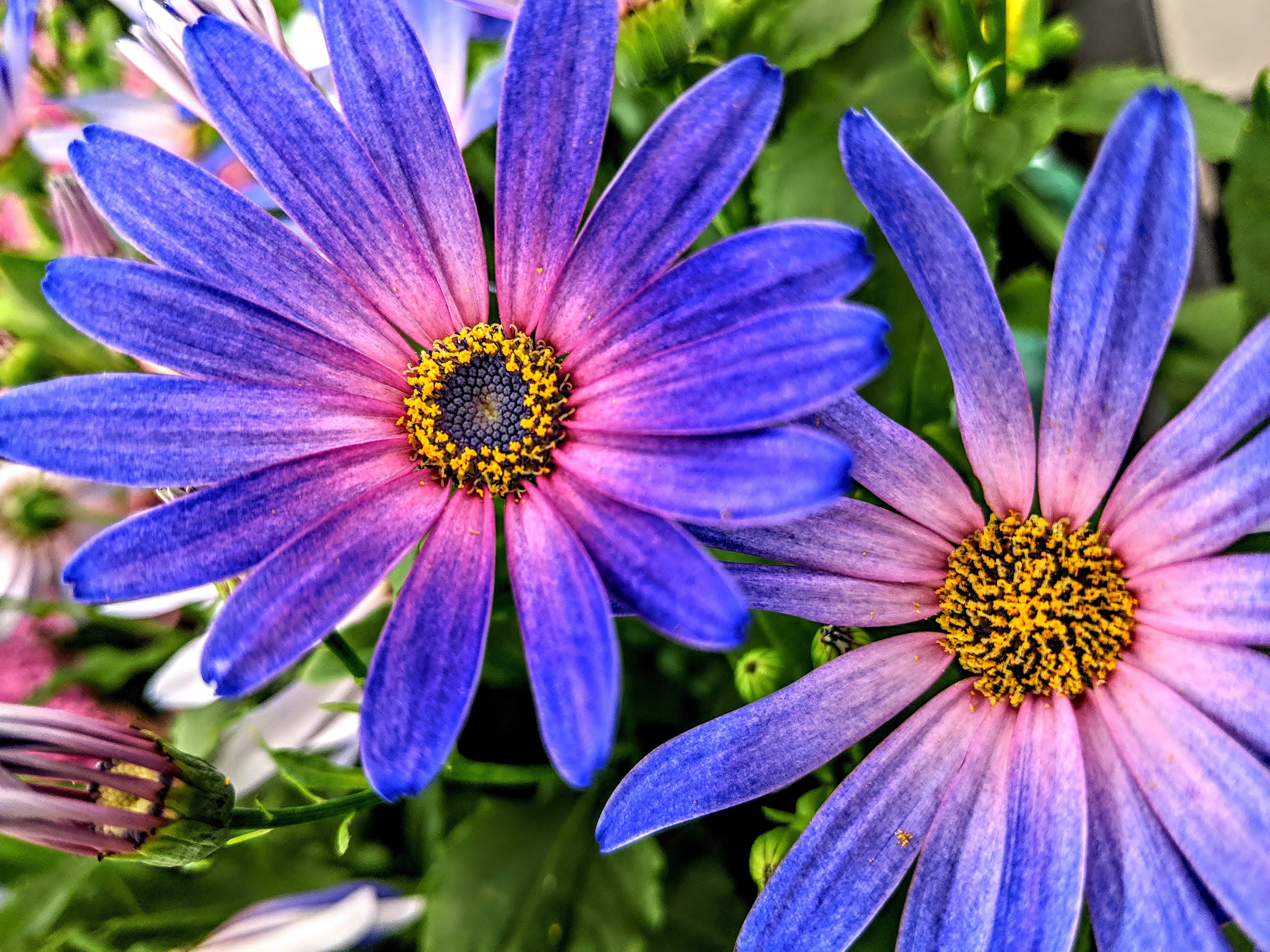 Free stock photo of purple asters