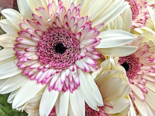 Immagine gratuita di fiori viola, margherite