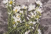 flowers, marguerites, destroyed