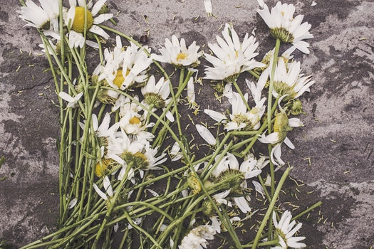 Free stock photo of flowers, marguerites, destroyed, dead