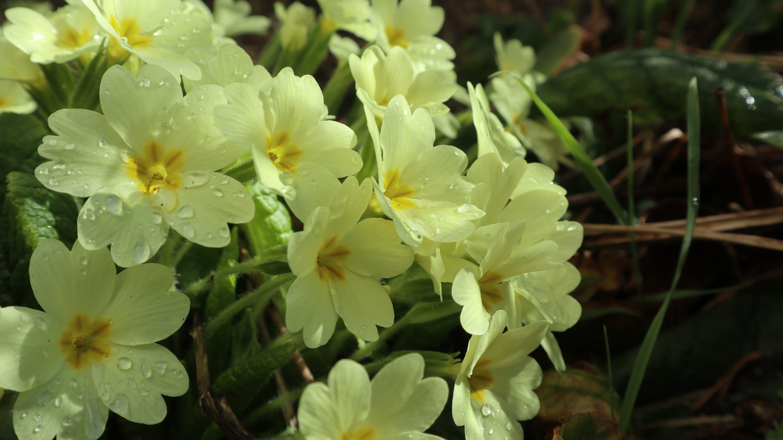 Free stock photo of Dew drop, flower, flowers, moist