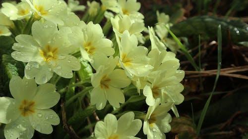 天性, 春天的花朵, 潮濕, 自然攝影 的 免费素材照片