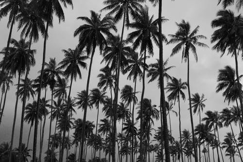 Silhouettes of Coconut Trees Under White Sky