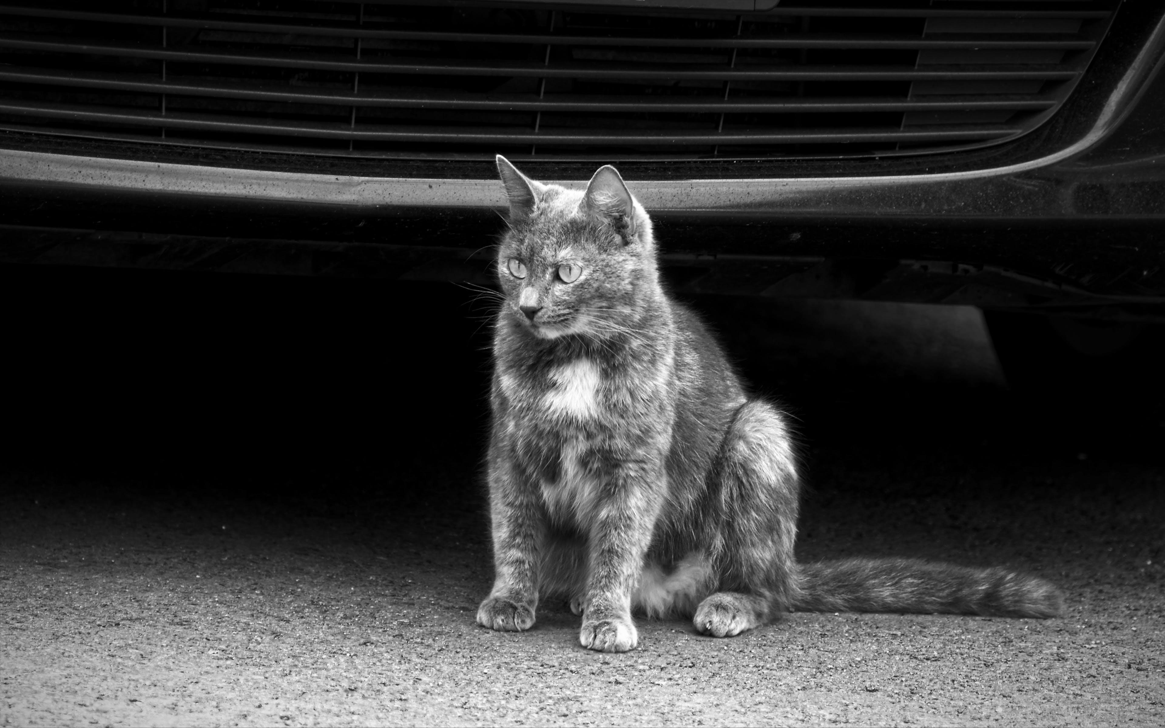 Free stock photo of asphalt, cat near a parked car, feline, pet
