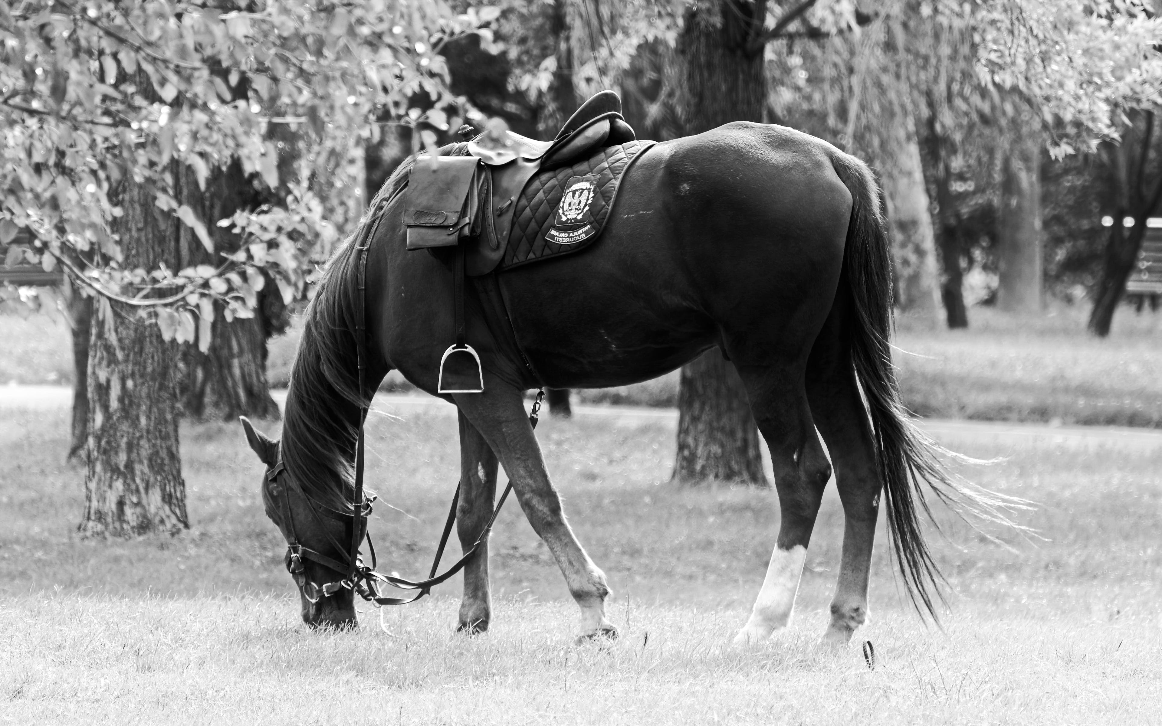 Free stock photo of animal, black and white, horse, nature