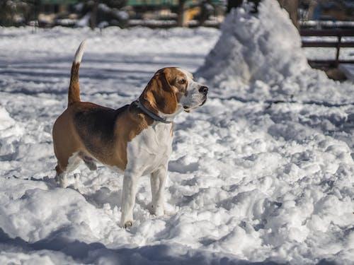 Fotos de stock gratuitas de beagle, nevar, nieve