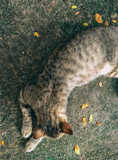 Free stock photo of cat, fallen leaves, Lying down