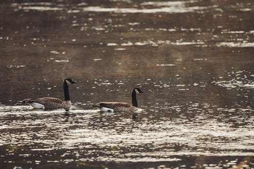 Photo of Geese On Water