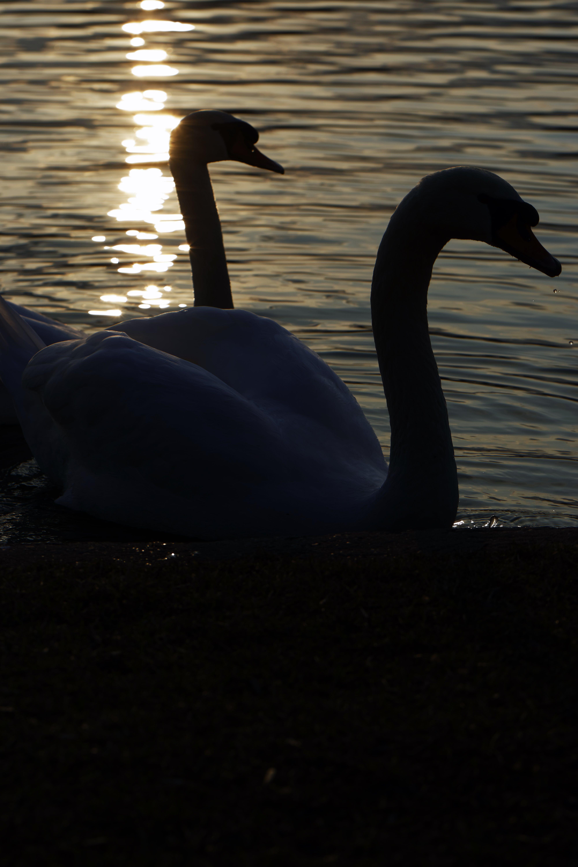 Kostenloses Stock Foto zu natur, see, silhouette von zwei weißen schwänen schwimmen am see, sonne reflektiert