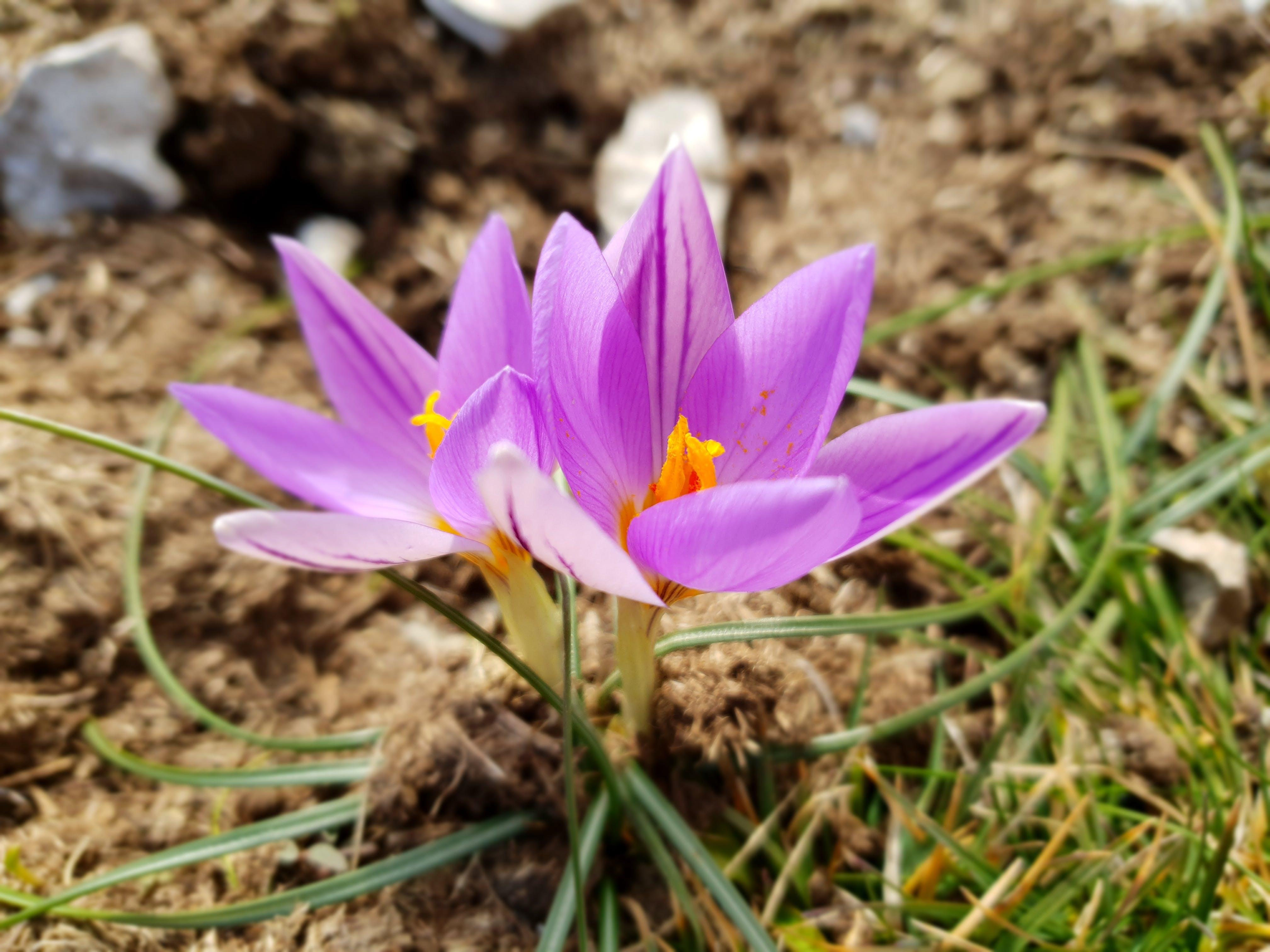 Free stock photo of crocus, crocus vernus, fiore, flower