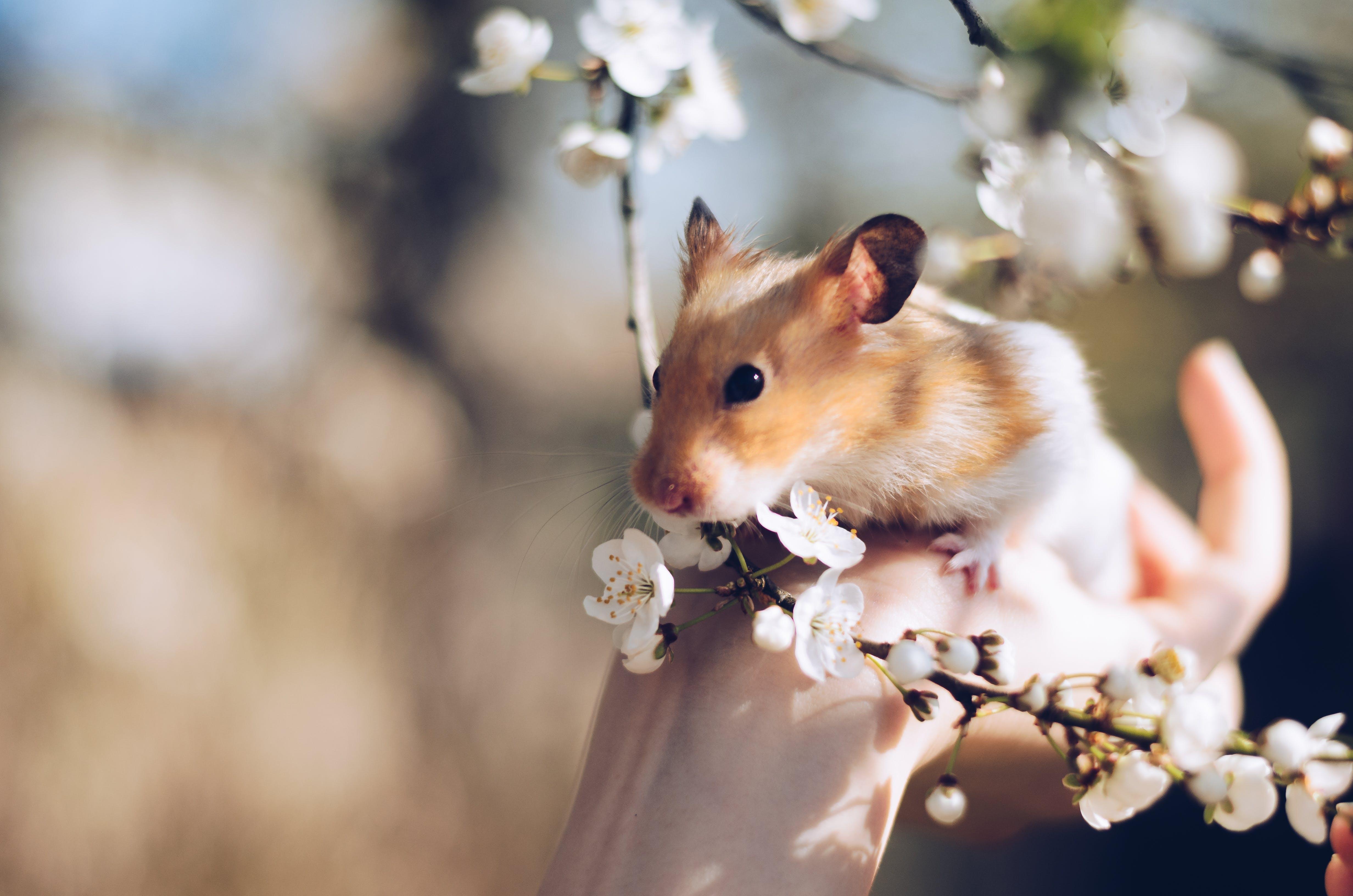 Darmowe zdjęcie z galerii z chomik, gryzoń, kwiaty, kwitnąć