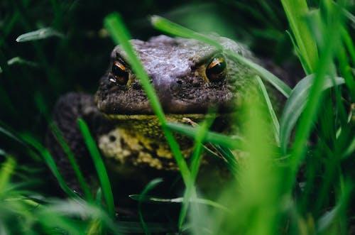 Kostnadsfri bild av amfibie, djur, gräs, groda