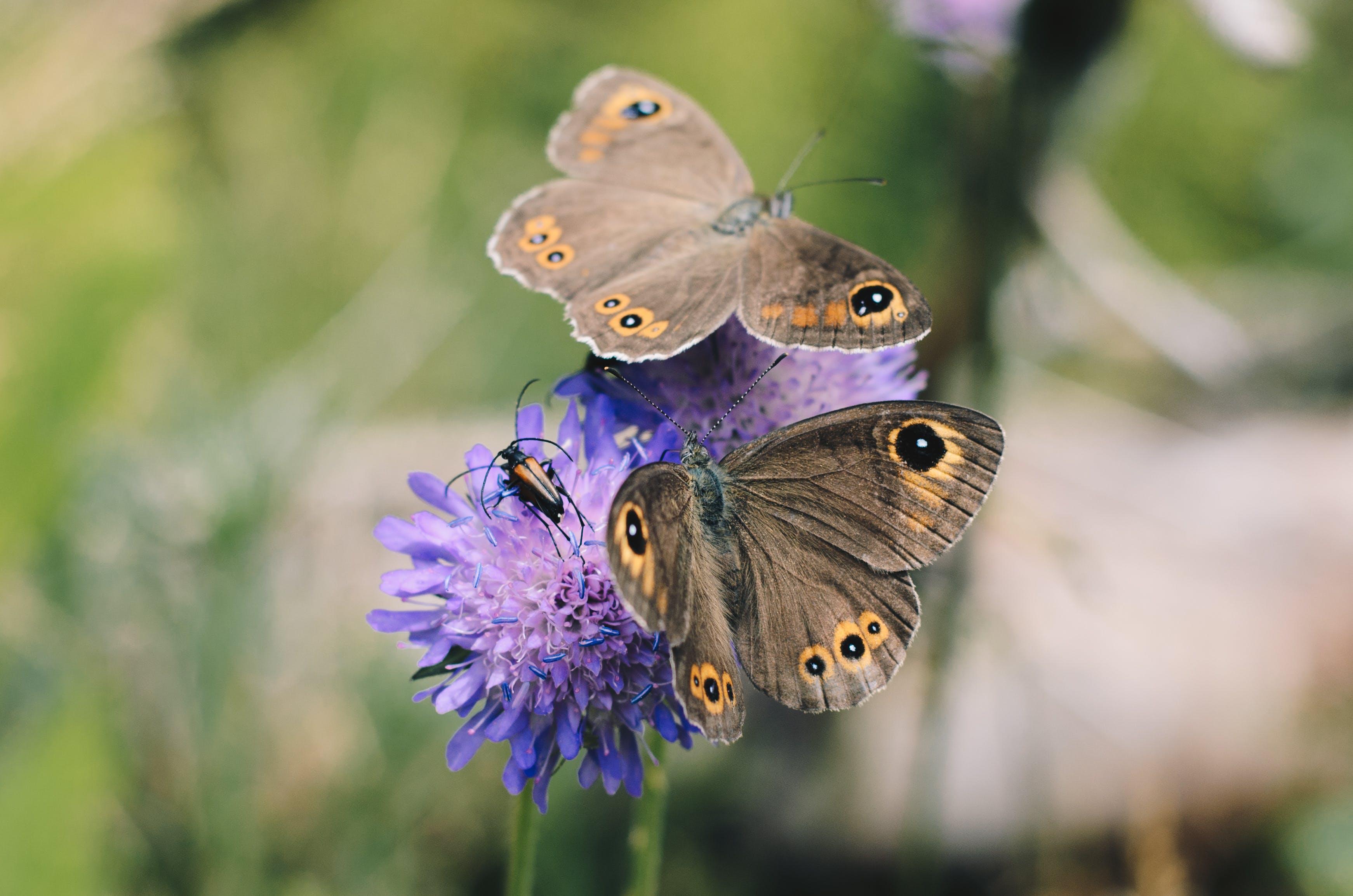 Two Owl Butterflies On Purple Flower