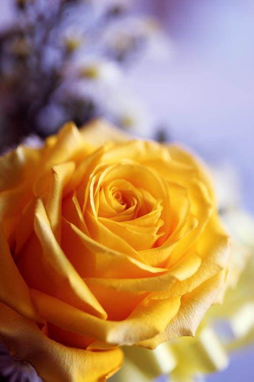 Бесплатное стоковое фото с желтый, завод, лепестки, роза
