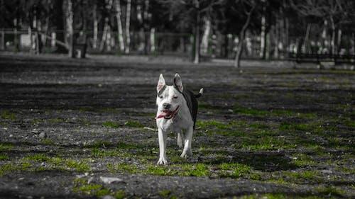 Fotos de stock gratuitas de perro, pit bull terrier americano
