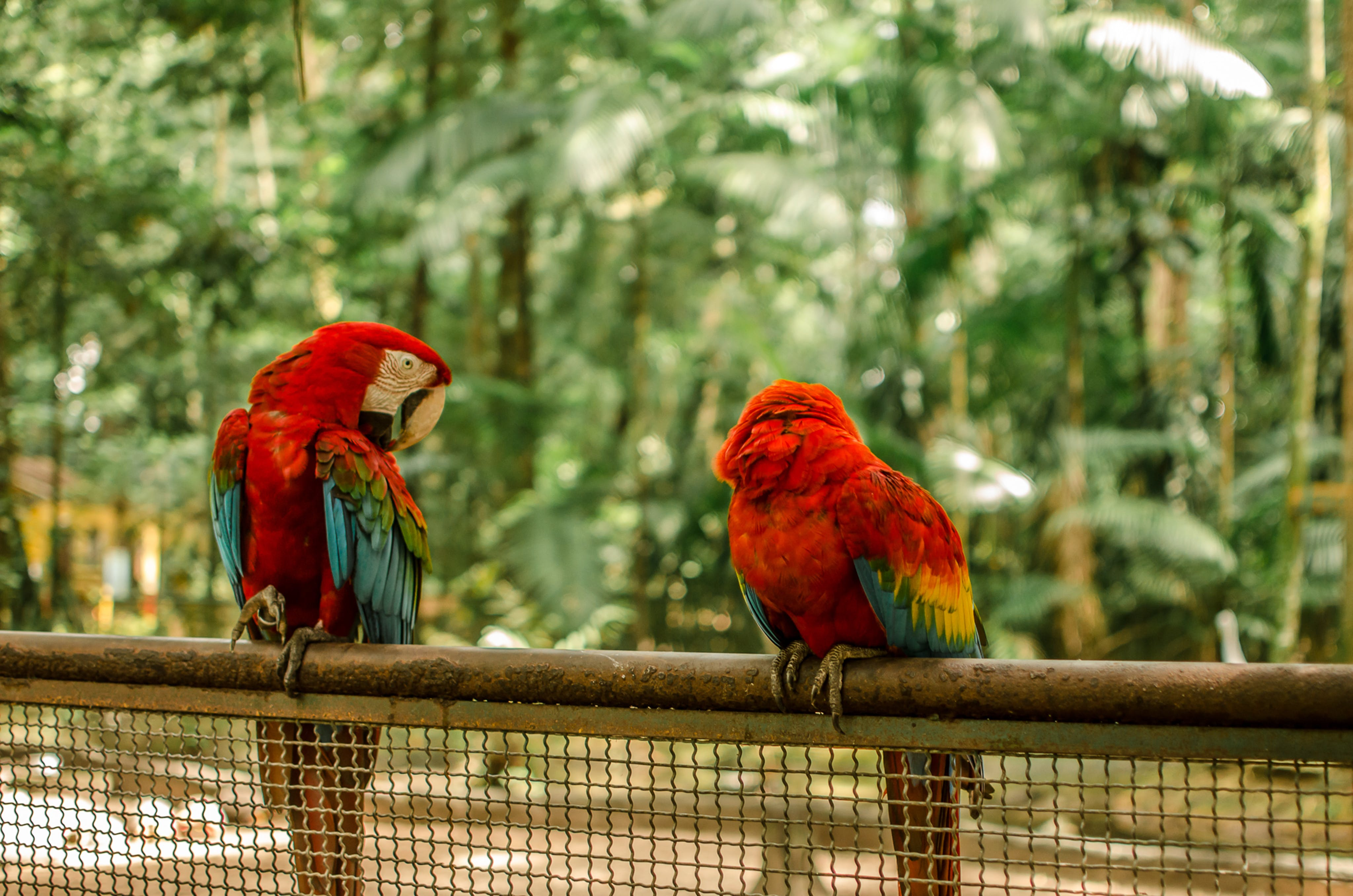 Photo of Scarlet Macaws
