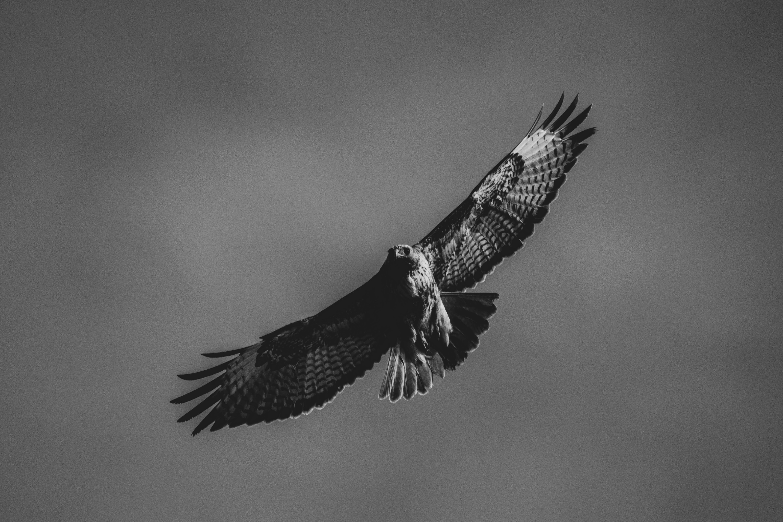 Monochrome Photo of Flying Falcon