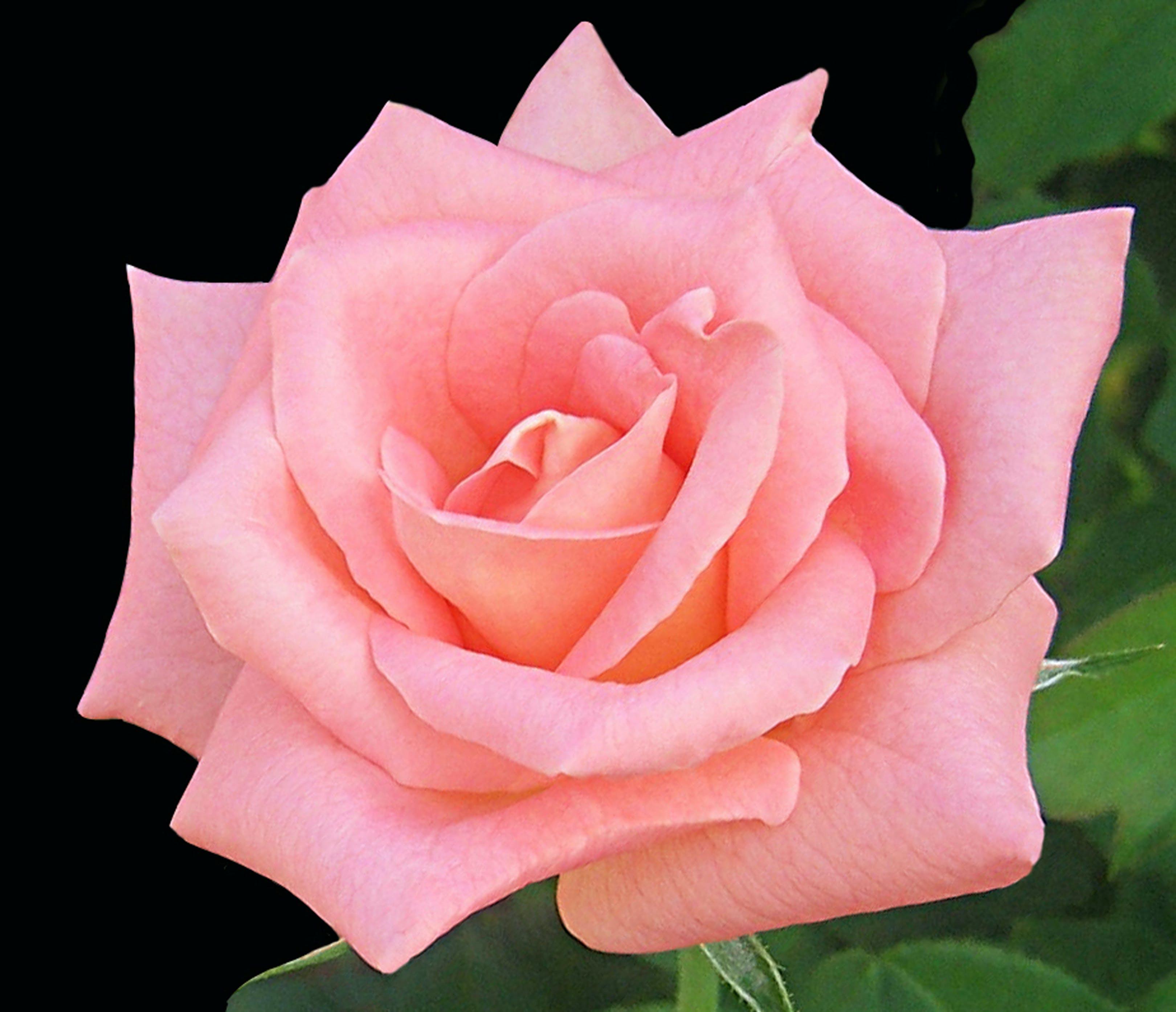 Kostenloses Stock Foto zu pfirsich rose