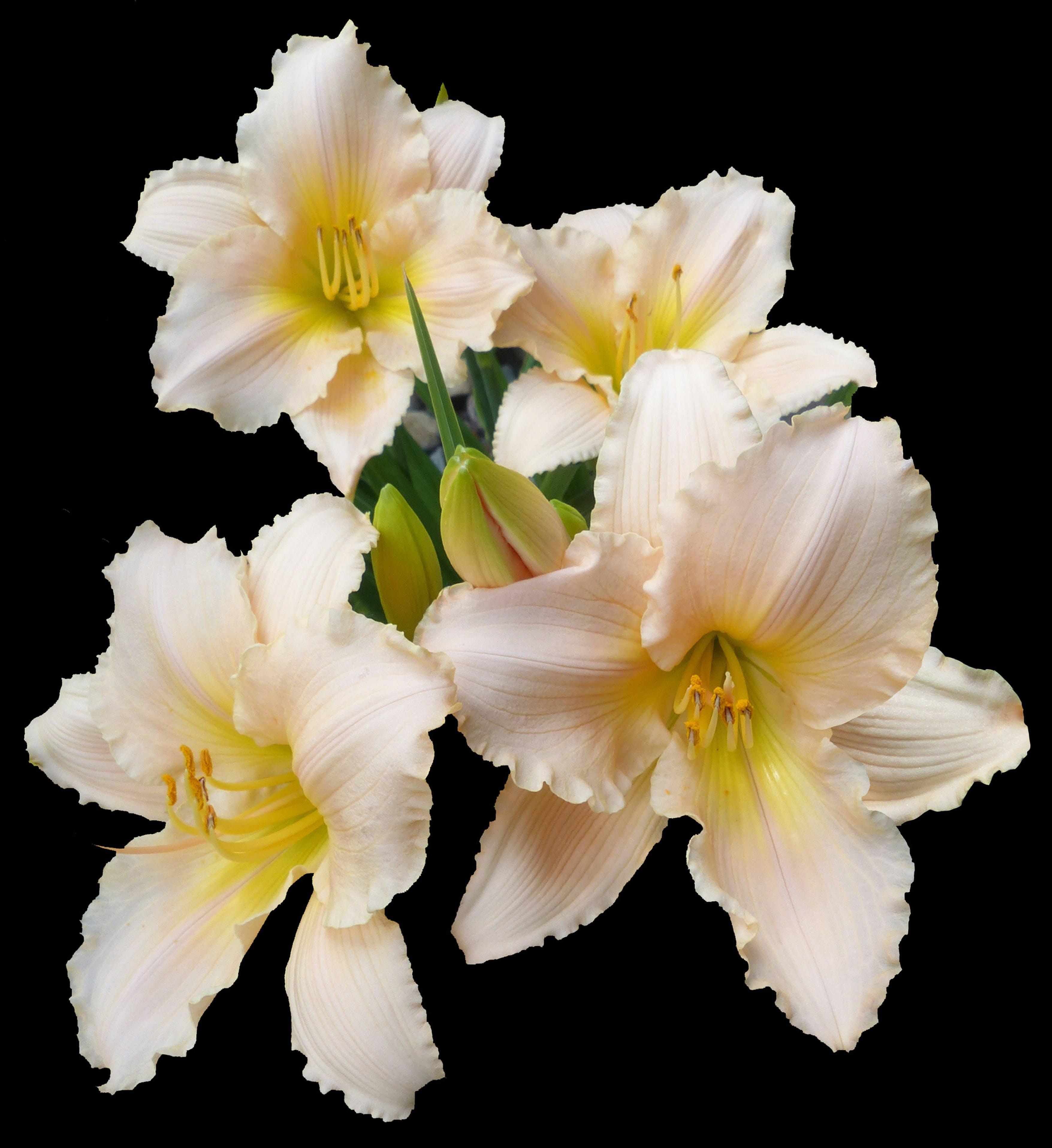 Kostenloses Stock Foto zu lillies