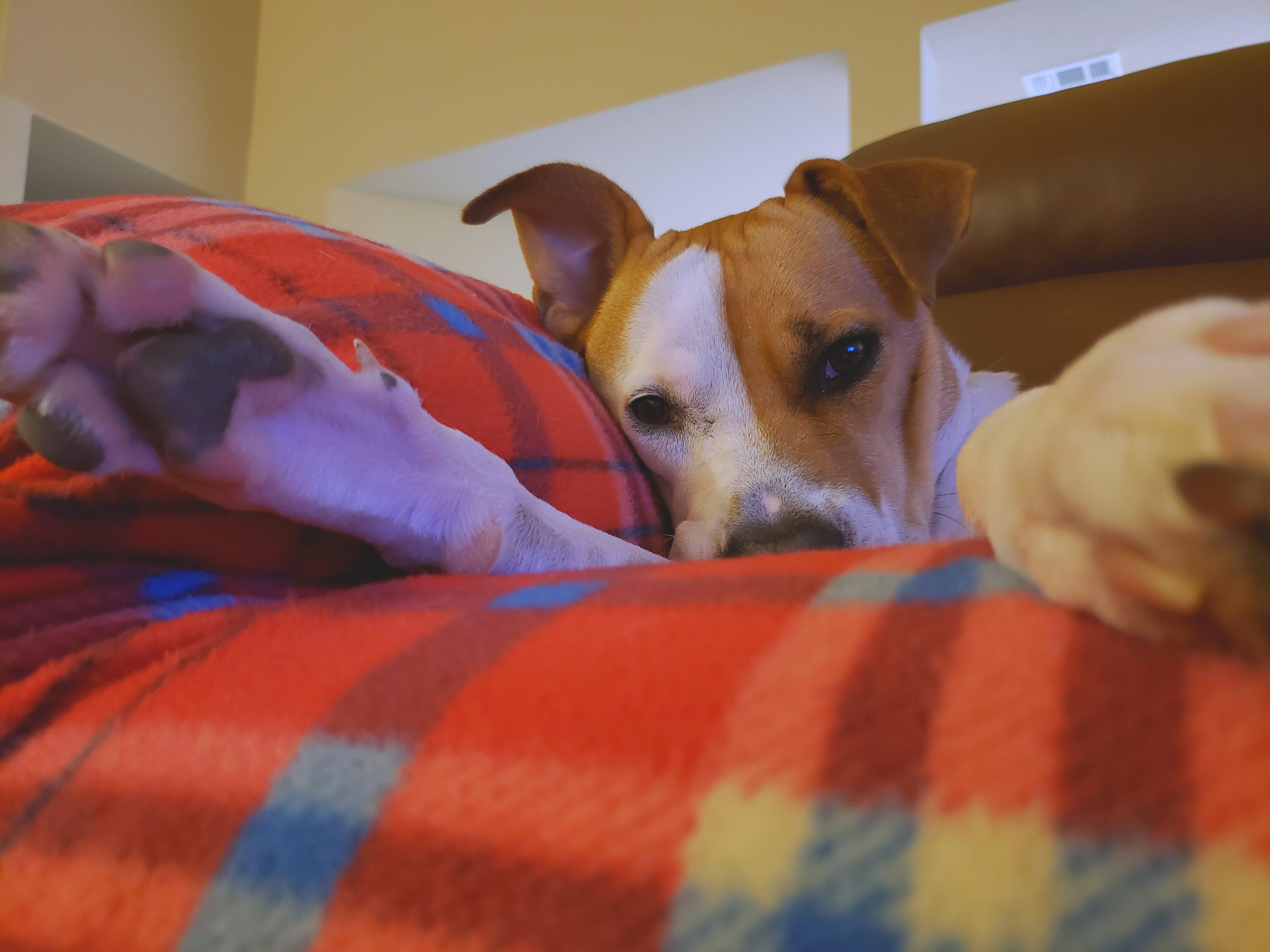 Kostenloses Stock Foto zu gemütlich, hund, sleepy dog, tier