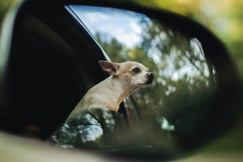 Kostenloses Stock Foto zu auto, chihuahua, fahrzeug, haustier