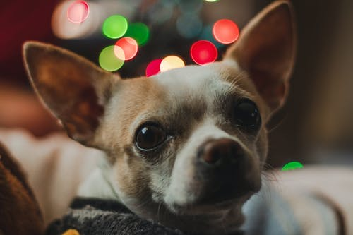 Free stock photo of chihuahua, christmas, dog, lights