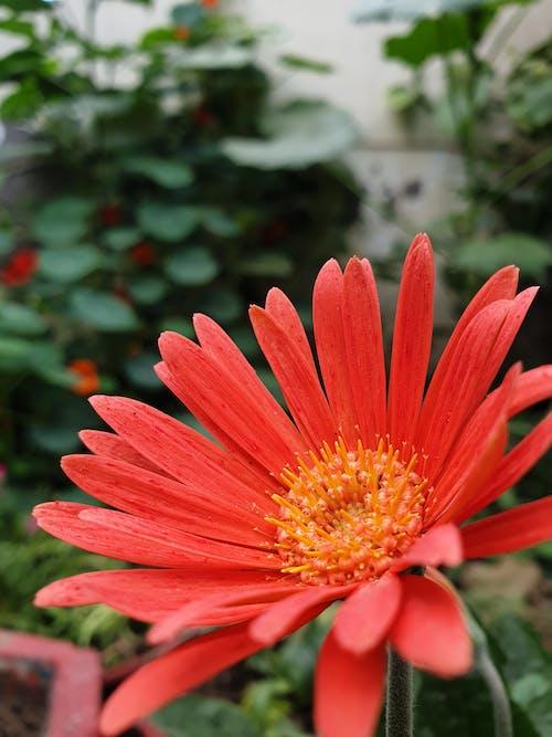 Darmowe zdjęcie z galerii z 4k, bokeh, czerwone kwiaty